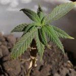 un piccola pianta di canapa