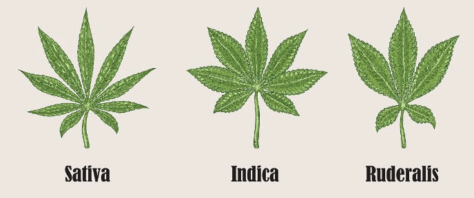 diversi tipi di cannabis