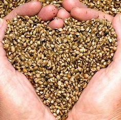 semi di canapa tenuti in mano