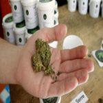 cannabis light in mano