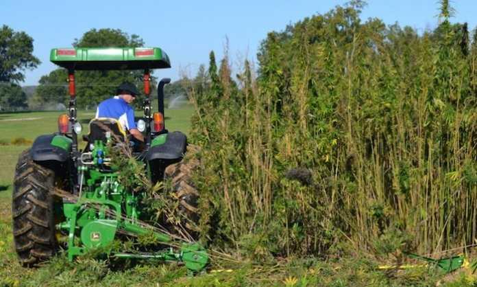agricoltore impegnato nella coltivazione di canapa
