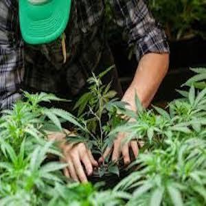 coltivazione di cannabis in Italia