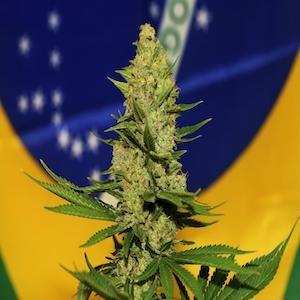 bandiera del brasile pianta canapa